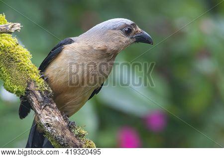 Nature Wildlife Image Of Beautiful Huge Bird Of Bornean Treepie (dendrocitta Cinerascen) Known Also