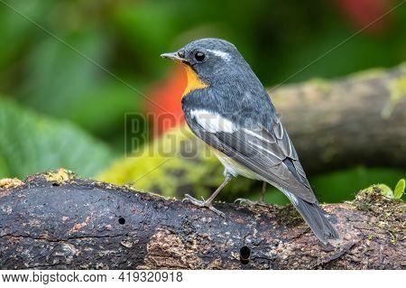 A Migration Bird (mugimaki Flycatcher) On The Branch Found In Sabah Borneo