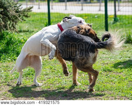 Two dogs are fighting in their play, white pitbull terrier is biting the neck of a brown dog in an enclosure outdoors.