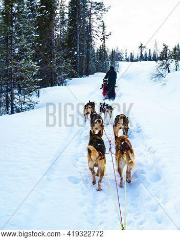Dog Sledding With Alaskan Huskies Through A Winter Wilderness.