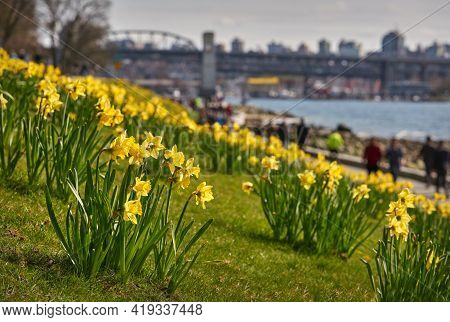 Vancouver West End Daffodils British Columbia. Daffodils Near The Beach On A Sunny, Spring Day. Vanc