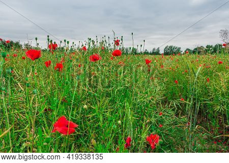 Grain Field In Spring With Individual Poppies. Wildflowers With Red Flowers. Individual Flower Stalk
