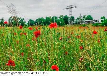 Wildflowers With Red Flowers. Cereal Field In Spring With Individual Poppies. Individual Flower Stal