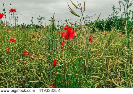 Different Types Of Grain In A Field In Spring With Some Poppies. Wildflowers With Red Flowers. Indiv
