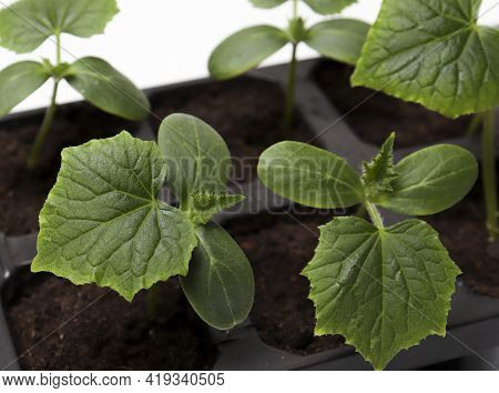 Green Young Cucumber Seedling On Tray. Cultivation Of Cucumbers In Greenhouse. Cucumber Seedlings Sp