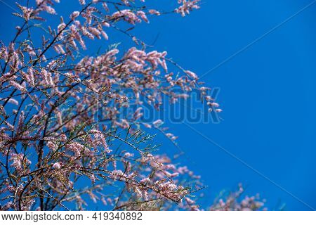 Tamarisk, Salt Cedar, Barley, Savory, Partial Branches Background.