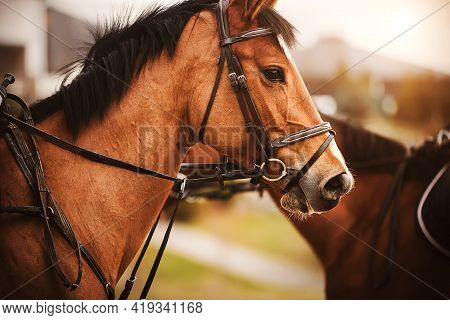 Portrait Of A Beautiful Bay Horse With A Dark Mane And A Bridle On Its Muzzle, Standing Next To Anot