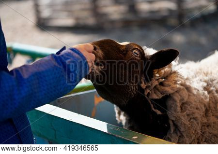 A Man Feeds A Sheep With Carrots, Black Sheep With White Spots