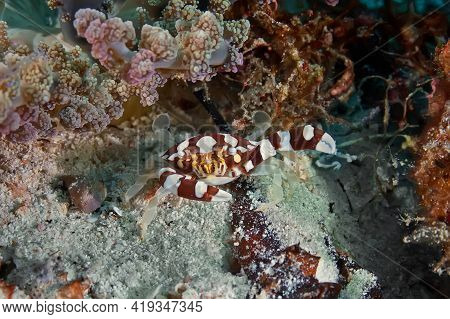 The Portunidae Crab Hides At The Foot Of Soft Coral, Waiting For Prey. Underwater Photography, Phili