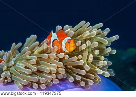 Western Clown Anemone-fish Swims In Its Anemone. The Body Of The Fish Is Bright Orange With Pure Whi