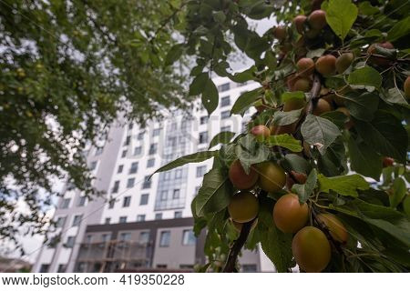 Fruits Of Cherry Plum On Tree. Ripe Gifts Of Nature. Fruits Of Yellow Plum On Tree Branch In Summer