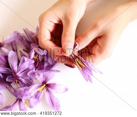 Close-up Of Hand Holding Saffron Crocus. The Crimson Stigmas Called Threads Are Collected To Be As A