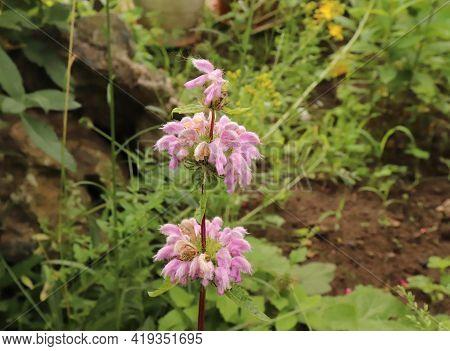Medicinal Plant Phlomis Tuberosa,jerusalem Sage In An Organic Garden. It Is A Perennial Flowering Pl