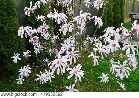Pink Magnolia Flowers In Garden.flowering Magnolia Tree Magnolia Loebneri Leonard Messel