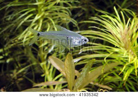 Aquarium fish: Mountain crystal tetra (Leptagoniates pi)