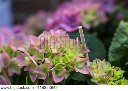 Beautiful Blooming Multicolored Hydrangeas In Pink And Purple Close-up In A Garden