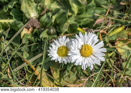 Spring Daisy Flowers On A Green Field. Spring Theme. Daisy Is Also A Medicinal Herb