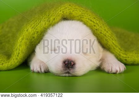 White Small Samoyed Puppy Dog On Green Background