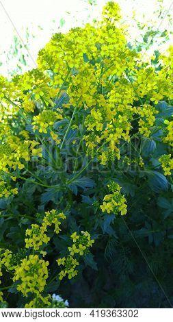 Barbarea Vulgaris Background. Beautiful Yellow Color Flowers. Vertical View. Bittercress Or Herb Bar
