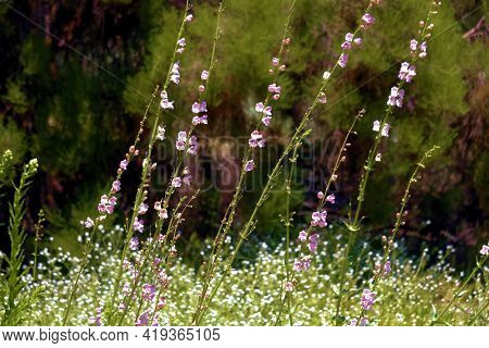 Wildflower Blossoms During Spring On A Lush Meadow Surrounded By A Chaparral Woodland Taken At A Gra