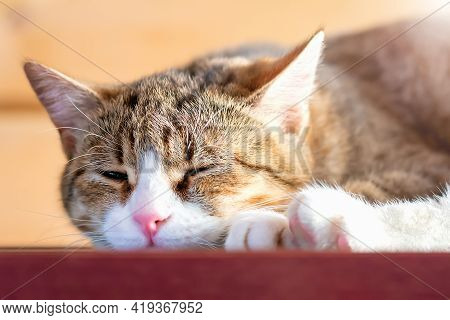 Close-up And Soft Focus Of A Cat With Brown Striped Fur And A White Muzzle With Close Eyes, Lying On