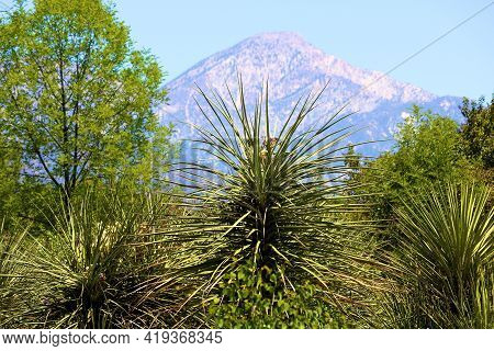 Yucca Plants At A Chaparral Woodland On A High Desert Plateau With The San Gabriel Mountains Beyond