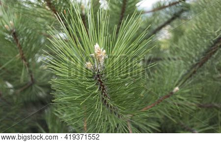 Young Pine Cones In A Park Growing In Europe. Coniferous Cones. Scots Pine Or Scots Pine Pinus Sylve