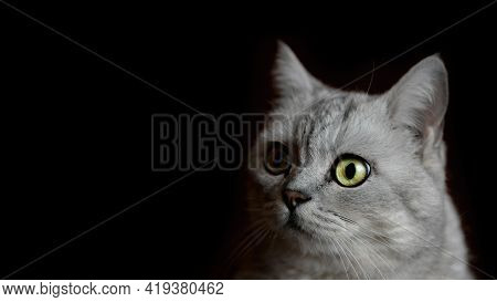 Texture Portrait Of A British Cat With Green Eyes Close - Up Space For Text On A Black Background