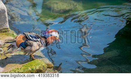 One Adult Male Mandarin Duck Standing On Rock Beside Lake Geneva, Switzerland. Aix Galericulata. Bea