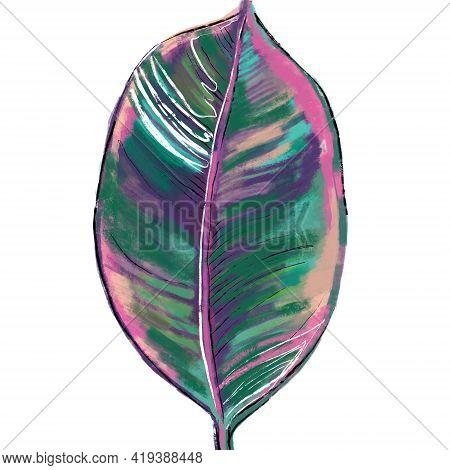 Hand-drawn Botanical Illustration Of A Ficus Elastica Belize Leaf In Green, Pink, Purple Colors. Bot
