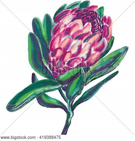Hand-drawn Botanical Illustration Of A Blooming Protea Flower In Green, Pink, Purple Colors. Botanic