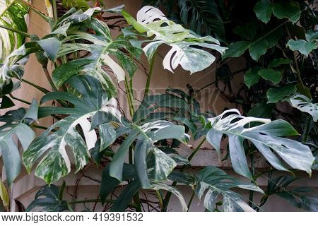 Beautiful Variegated Leaves Of Monstera Deliciosa Albo Tropical Plant