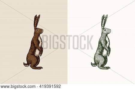 Wild Hare Or Brown Rabbit Stands On Its Hind Legs. European Bunny Or Cowardly Coney. Hand Drawn Engr
