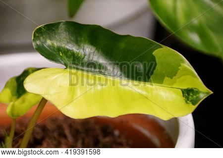 A Yellow And Green Marbled Half-moon Leaf Of Philodendron Burle Marx Variegated