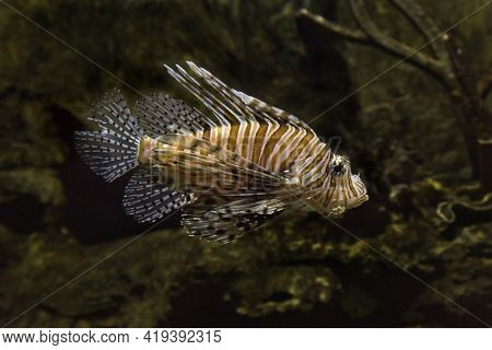 Common Lionfish, Devil Firefish (pterois Miles) In Aquarium.