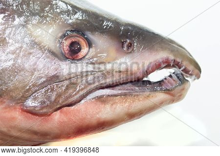 Head Of A Predatory Red Salmon Fish Freshly Caught. Dietary Food. Ingredient For Cooking.
