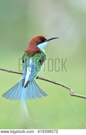 Beautiful Bird Making Tail Spreading While Happily Perching On Thin Branch, Blue-throated Bee-eater