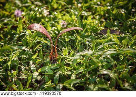 Dipterocarpus Alatus Roxb (yang, Gurjan, Garjan) Seed Fall Down On The Grasses.