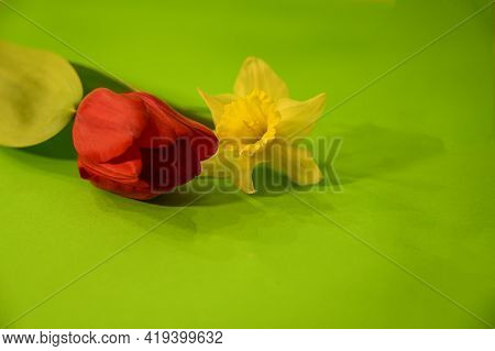 Tulip And Daffodil Very Nice Spring Garden Flower