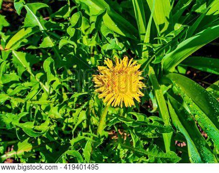 Spring Blooming Of Yellow Meadow Flower Dandelion. Yellow Flowers Dandelions. Green Leaves. Sunlight