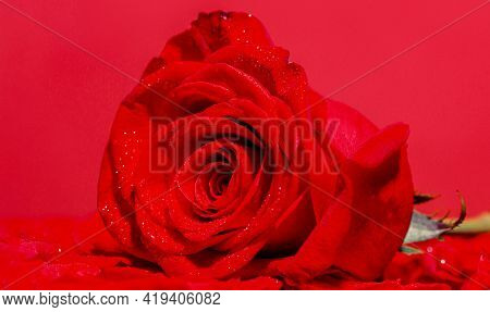 A Red Rose Bloom. Rose Petals. Natural Bright Roses Background. Bright Red Rose For Valentine Day. A