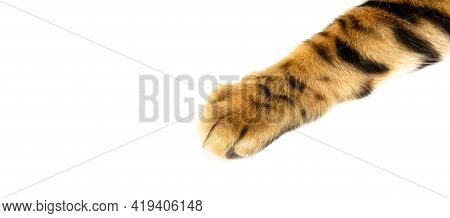 Bengal Cat Paw Close Up Isolated On White Background, Golden Bengal Paw