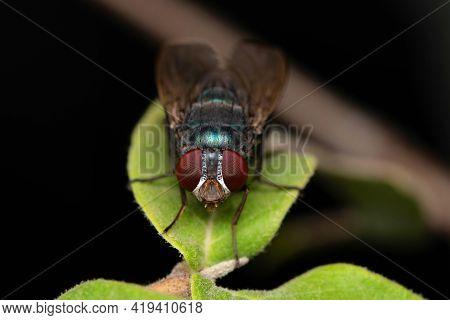 Face Of Blue Bottle Fly, Calliphora Vomitoria, Satara, Maharashtra, India