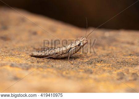 Lateral Of Juvenile Indian Bark Mantis, Humbertiella Indica, Liturgusidae, Lonand, Maharashtra, Indi