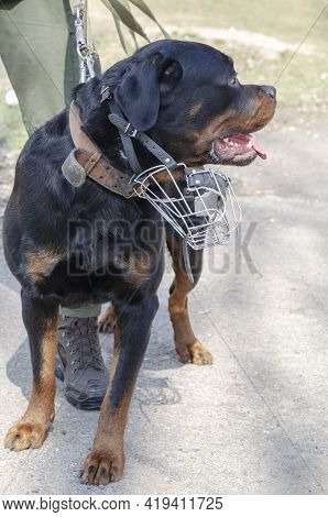 A Portrait Of A Service Dog While On Patrol. An Adult Male Rottweiler With A Lowered Metal Muzzle. S