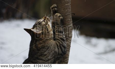 A Tabby Cat Sharpens Its Claws On A Slender, Young Tree. Gray Tabby Cat With Yellow Eyes, Close-up.