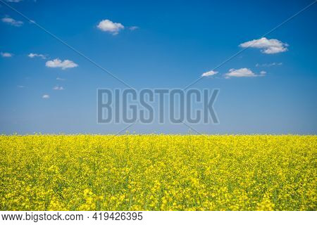 Oilseed Rape Field In Blossom On Sunny Day.