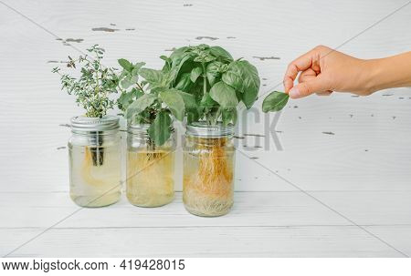 Herb harvest at home while cooking. Woman picking fresh basil leaf from growing herbs plants in hydroponic kratky jars system. Edible plant leaves. Basil, mint, thyme.