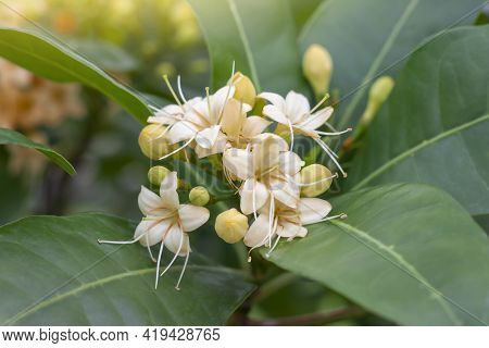 Anan Or Fagraea Fragrans Roxb Bloom On Tree In The Garden With Sunlight. Thai People Call Kankrao Is