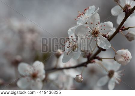 Beautiful Nature Scene With Blooming Tree. Flowering Spring Trees.spring Blossom Background.